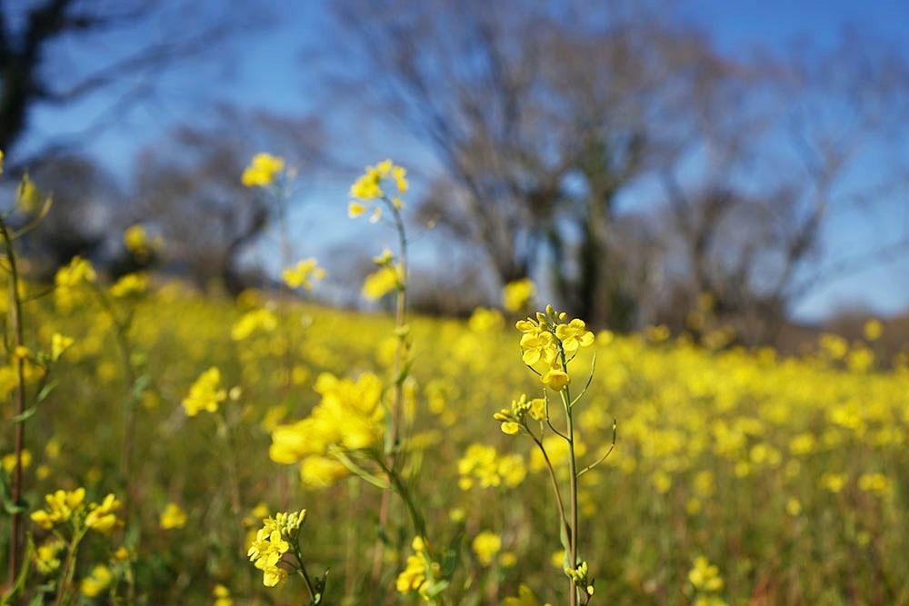 入田のヤナギ林 菜の花