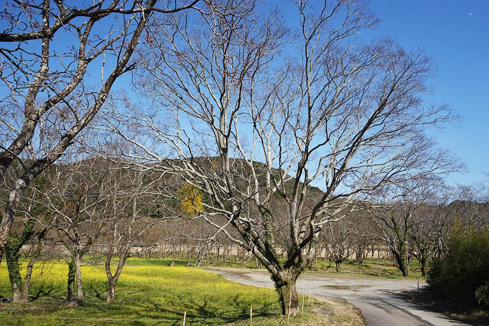 入田のヤナギ林 柳の木