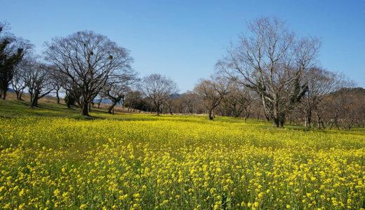 【入田ヤナギ林の菜の花】四万十川を黄色で染め尽くす!暖かい春の陽気に誘われて