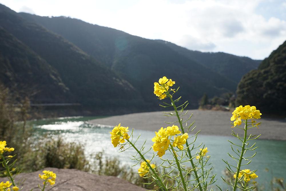 岩間沈下橋 菜の花